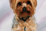 Zoom sur : le Yorkshire Terrier