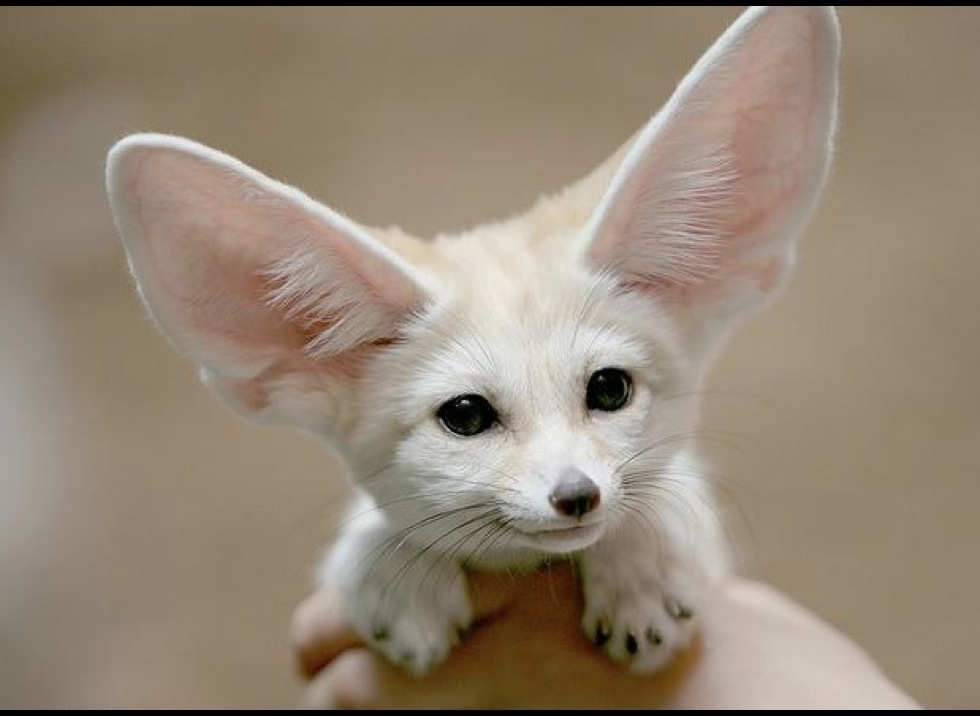 top 10 cutest fennec foxes yummypets