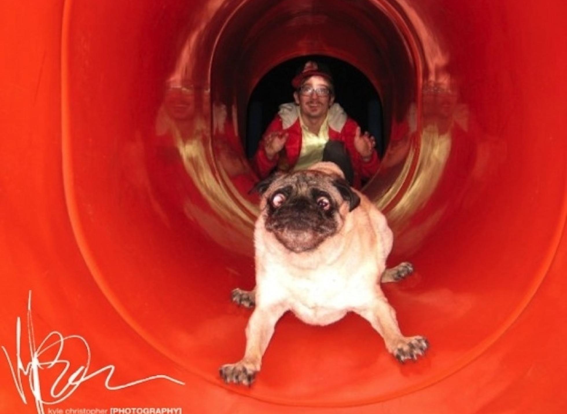 Bilderesultat for pug going down slide
